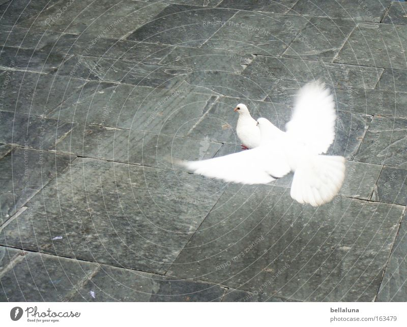 I'm flying at you! Bird Pigeon Love White Peace Innocent Cobblestones Paving stone Sidewalk Colour photo Exterior shot Morning Day Contrast Copy Space left