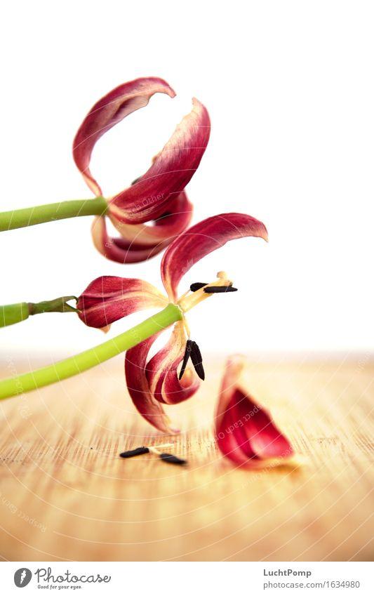 Old Green Flower Red Blossom Wood Bright Derelict Decline Blossom leave Tulip Gaudy Limp Pistil Decompose Focus on