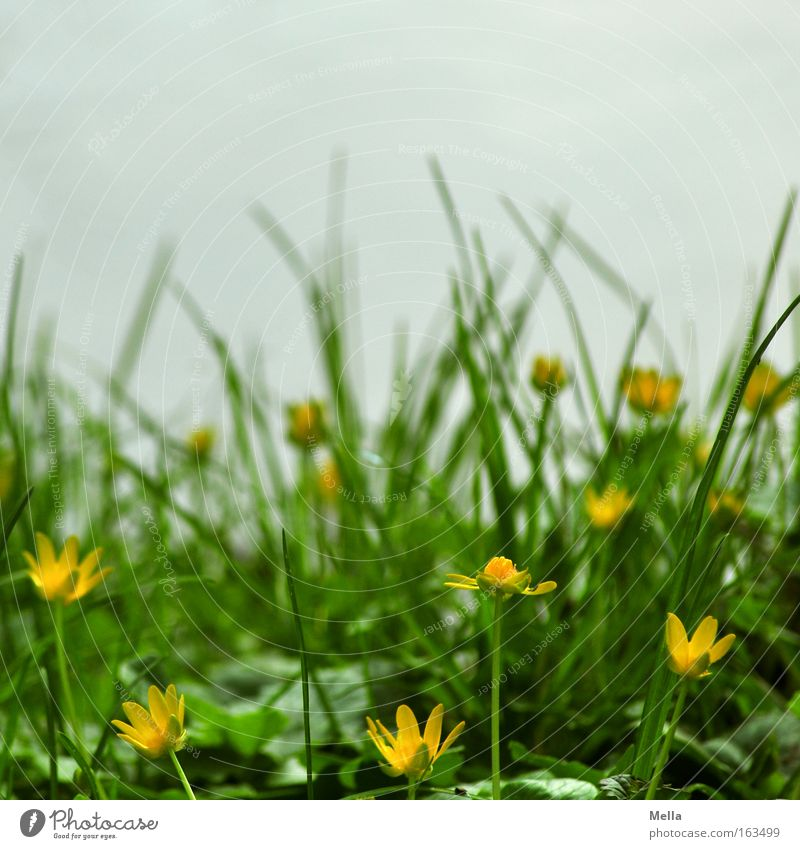 Flower Green Yellow Meadow Blossom Grass Spring Gray Coast Blossoming