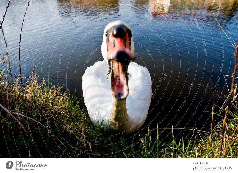 swan Colour photo Exterior shot Deserted Copy Space left Copy Space right Day Motion blur Animal portrait Looking Vacation & Travel Adventure Summer Nature