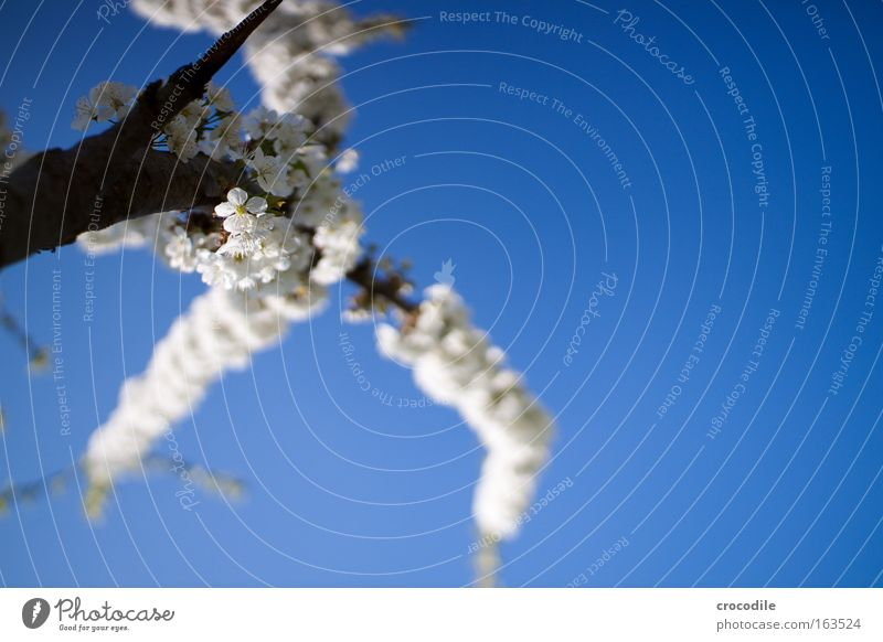 Nature Sky White Tree Blue Plant Joy Blossom Spring Park Environment Spring fever Agricultural crop Cloudless sky