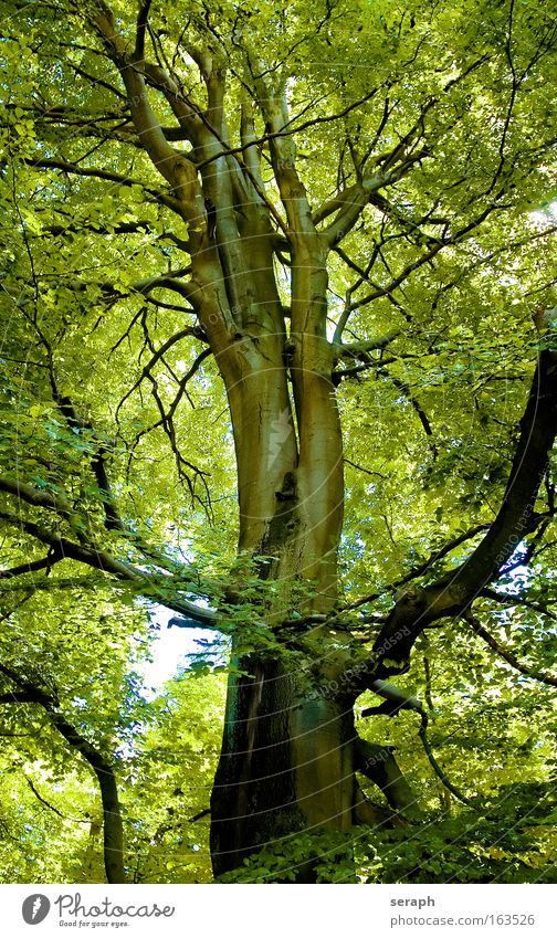 Green Lung Nature Old Tree Plant Biology Calm Leaf Forest Relaxation Wood Dream Landscape Environment Large Tall