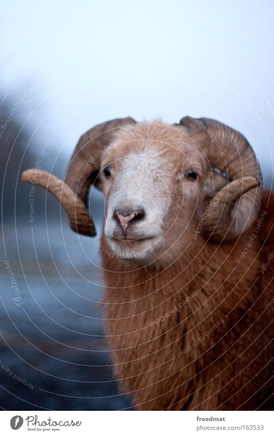 Nature Old Blue Winter Animal Calm Brown Power Authentic Threat Communicate Curiosity Pelt Strong Sheep Antlers