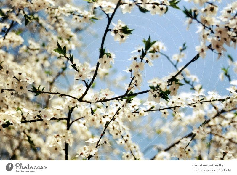 Nature Sky White Tree Blue Plant Blossom Spring Landscape Air Brown Growth Fragrance Beautiful weather Cloudless sky