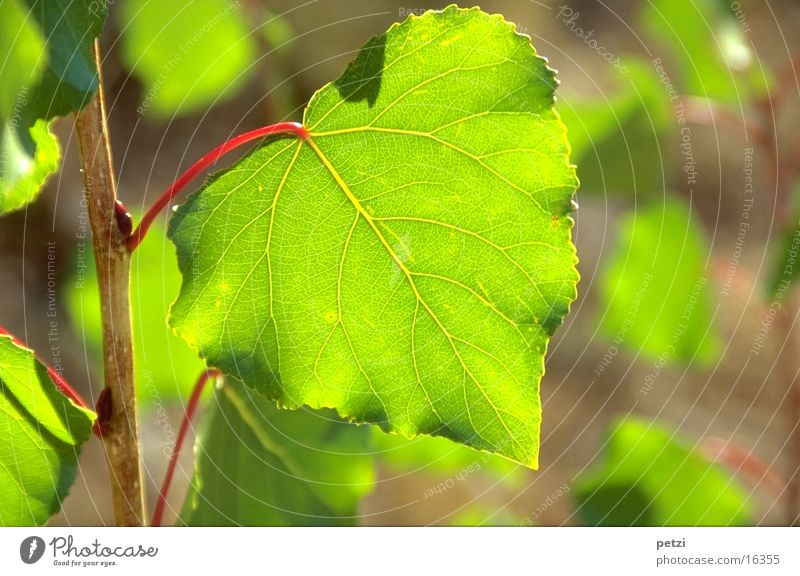 Green leaf Leaf Red Light Sun