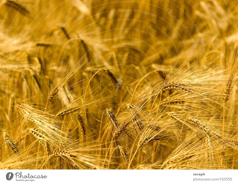 Golden Fields Plant Environment Grass Grain Growth Idyll Ecological Agriculture Grassland Environmental protection Wheat Feed Vegetarian diet Rye Cereal