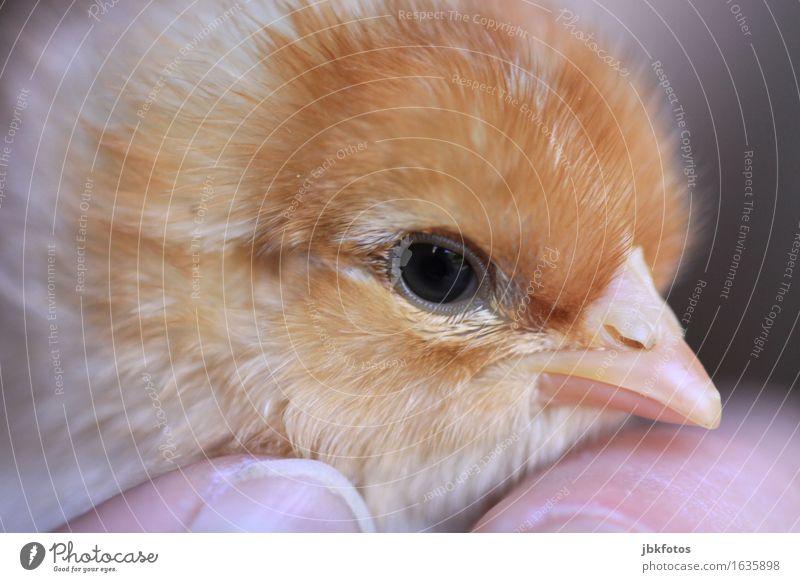 #chick shredder Food Nutrition Environment Nature Animal Farm animal Bird Barn fowl Rooster Chick 1 Baby animal Cuddly Kitsch Small Delicious Kill Soft Beak