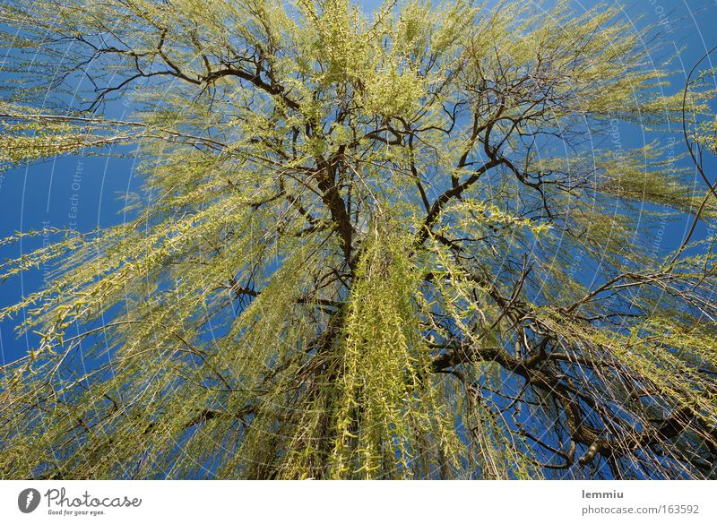 weeping willow Colour photo Exterior shot Deserted Day Sunlight Worm's-eye view Wide angle Nature Plant Sky Cloudless sky Spring Beautiful weather Tree Meadow
