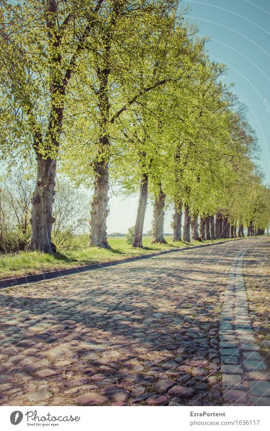 Trees Avenue Cobblestone Street Nature Sky Spring Summer Plant Leaf Traffic infrastructure Lanes & trails Blue Gray Green Cobblestones Colour photo