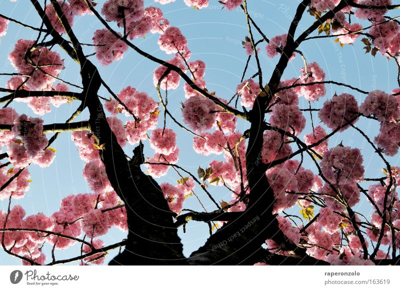 Sky Nature Tree Beautiful Plant Blossom Spring Pink Simple Delicate Japan Treetop Exotic Cherry blossom Far East Ornamental cherry
