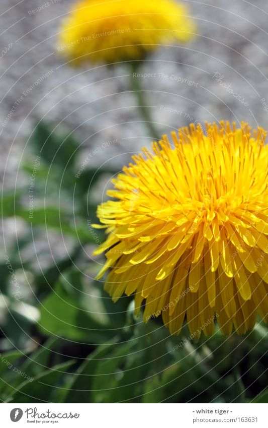 Green Plant Flower Yellow Gray Blossom Dandelion Blossom leave Wild plant