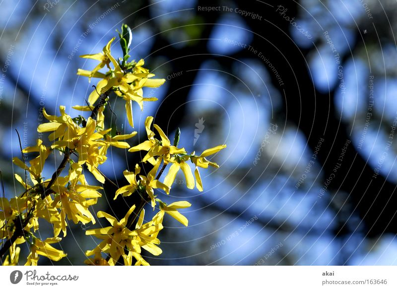Tree Blue Black Yellow Spring Hedge Sunrise Forsythia