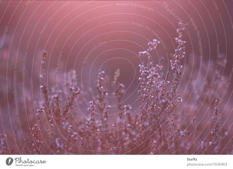 Nature Plant Beautiful Landscape Red Calm Moody Pink Bushes Flair Mystic Flare Faded Nature reserve Wild plant Heathland