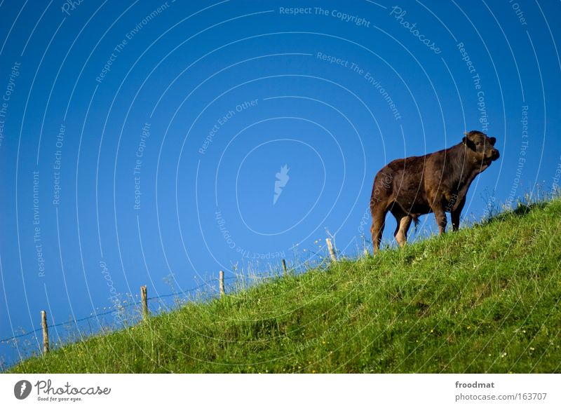 cocoa cow Colour photo Multicoloured Exterior shot Copy Space left Copy Space top Copy Space middle Neutral Background Day Central perspective Animal portrait