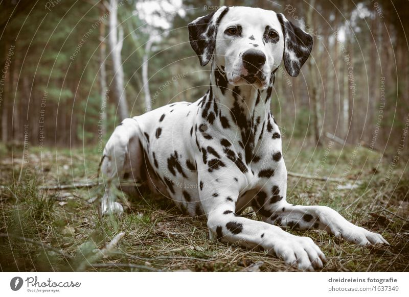 Dalmatian sits in the forest Environment Nature Earth Spring Summer Autumn Forest Animal Dog Sit Wait Esthetic Cool (slang) Elegant Friendliness Uniqueness