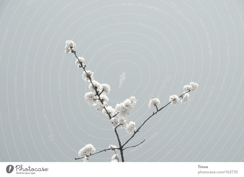 Nature White Plant Blossom Spring Gray Delicate Blossoming Twig Cherry blossom