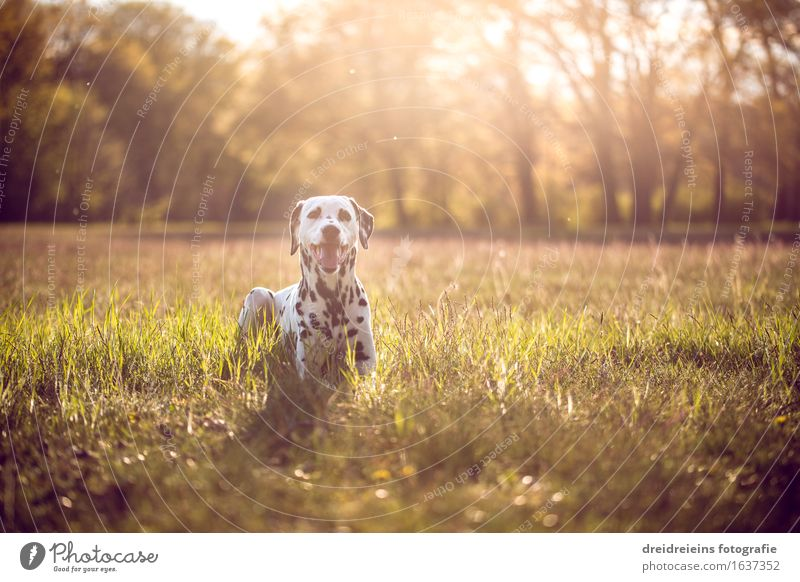 Dalmatian in summer at sunset Environment Nature Landscape Earth Sun Sunrise Sunset Sunlight Spring Summer Beautiful weather Animal Dog Sit Wait Exceptional