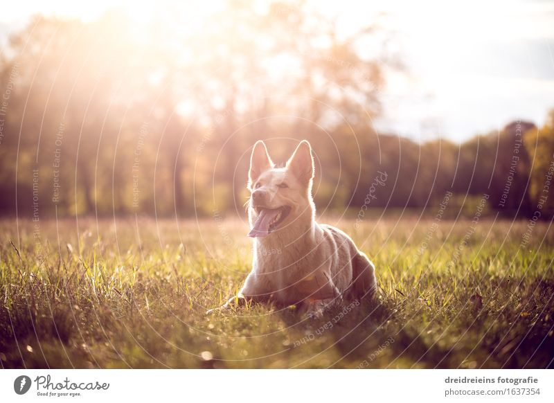 Husky in summer at sunset in the park Environment Nature Landscape Sunrise Sunset Sunlight Spring Summer Beautiful weather Animal Dog Sit Wait Elegant