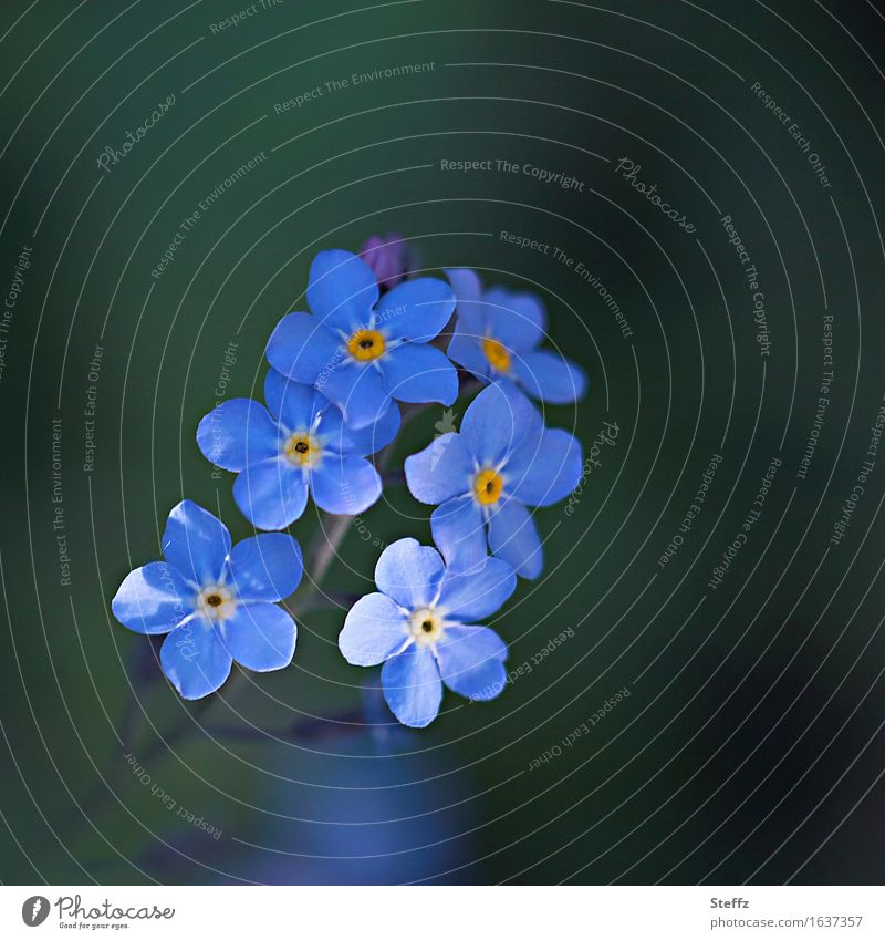 just blue Valentine's Day Mother's Day Birthday Nature Plant Spring Flower Blossom Wild plant Forget-me-not Blossom leave Spring flower Blossoming Beautiful