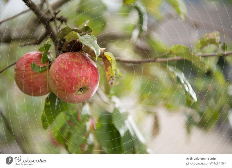 Ripe apples shortly before harvesting Food Fruit Nutrition Breakfast Organic produce Vegetarian diet Slow food Shopping Healthy Eating Fitness Overweight