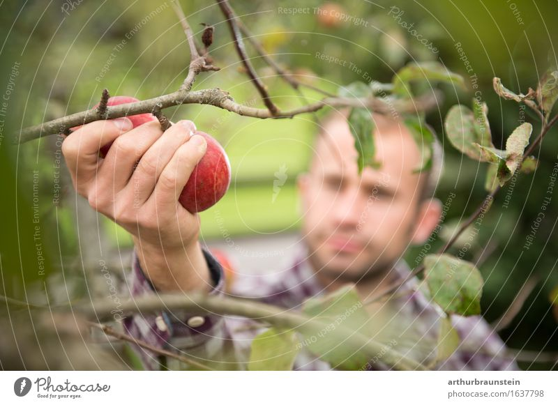 Young man harvesting apples Food Fruit Apple Nutrition Organic produce Vegetarian diet Healthy Eating Leisure and hobbies Handcrafts Summer Garden Gardening