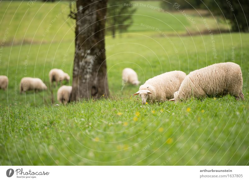 Flock of sheep in the open countryside Food Meat Nutrition Healthy Healthy Eating Leisure and hobbies Keeping of animals Vacation & Travel Tourism Summer