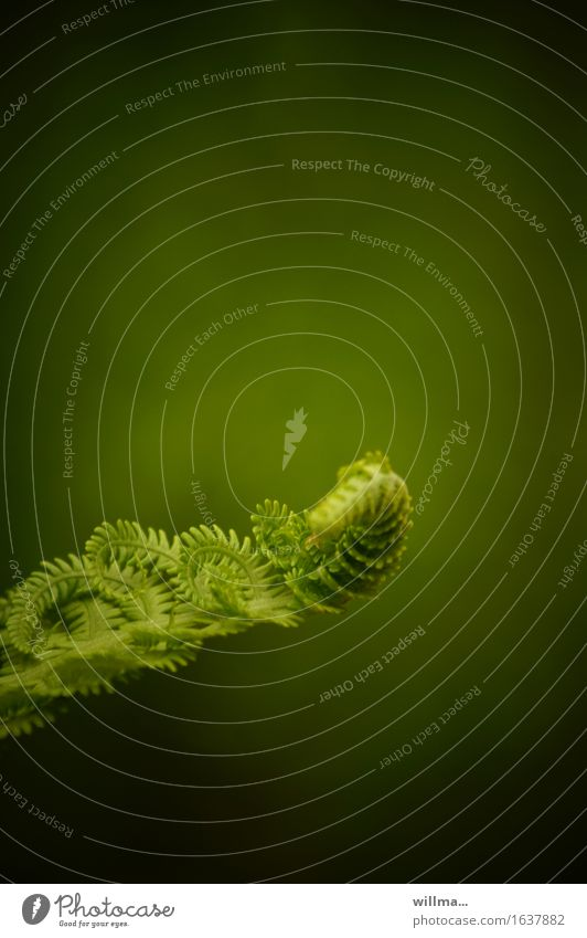 Fern unfolds in the spring Spring Growth Green Deploy roll up Nature Plant Wild plant Pteridopsida coiled naturally Love of nature Colour photo Exterior shot