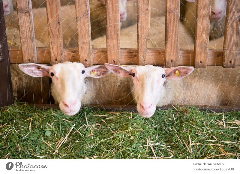 Sheep in the barn Plant Grass Fence Animal Farm animal Flock Sheep shed Feta cheese 2 Herd Wood Observe Looking Wait Happy Natural Green Contentment