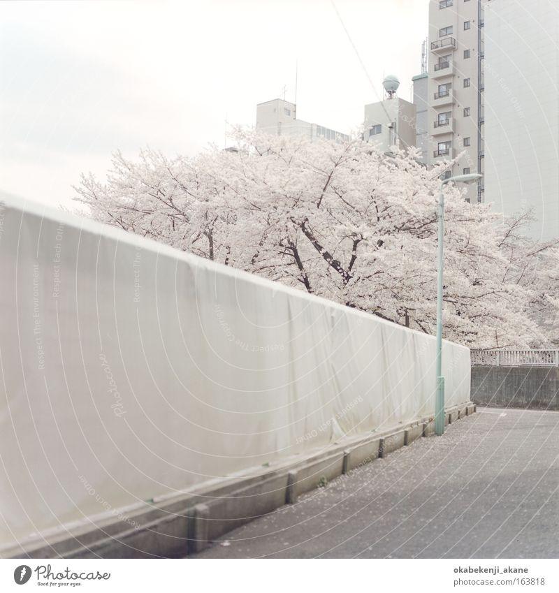 sakura #7 Sky Tree Flower Clouds Blossom Asia Serene Japan
