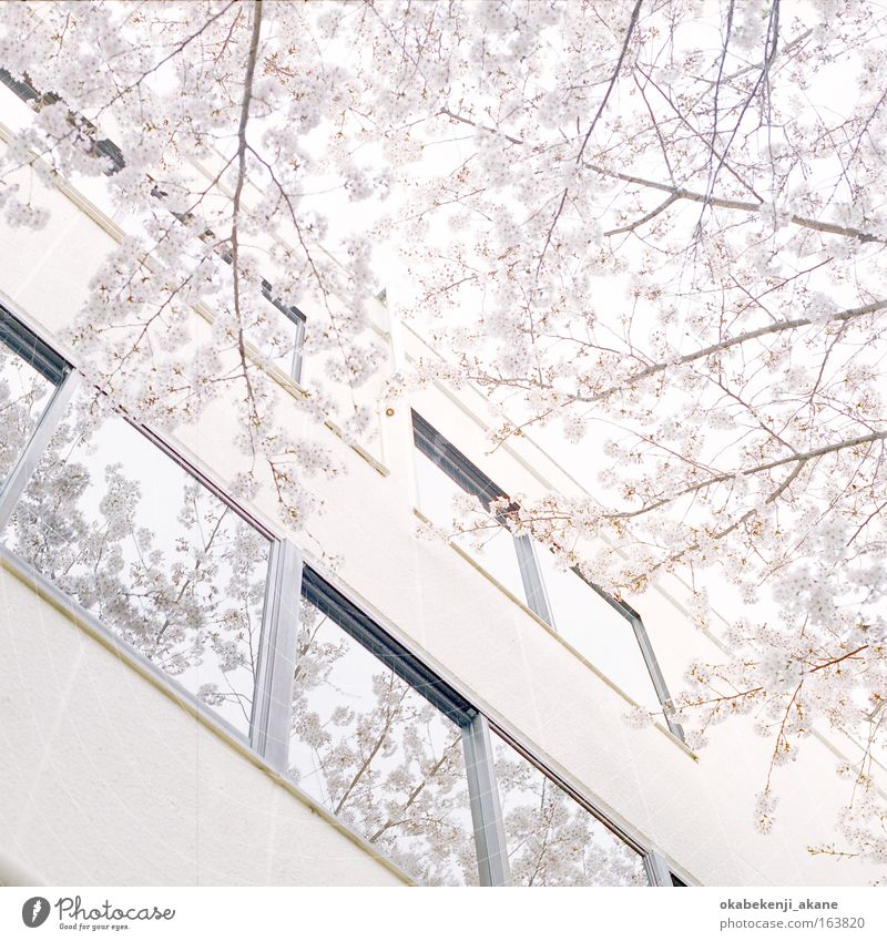 sakura #8 Colour photo Day Light High-key Upward Air Tree Flower tokyo Japan Asia Building Serene
