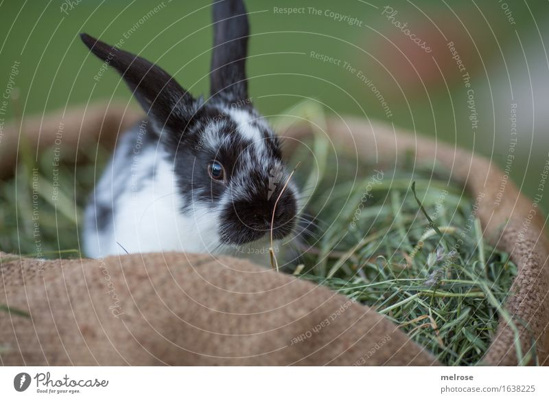 am sooo sad ... Easter Grass Hay Meadow Animal Pet Animal face Pelt Pygmy rabbit Rodent Mammal Hare ears Snout 1 Baby animal jute bag Relaxation To enjoy Cuddly