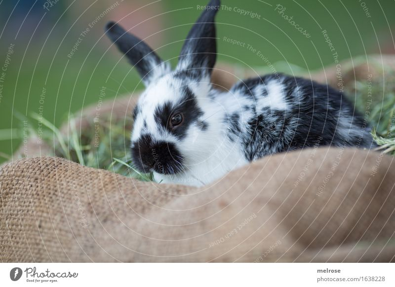 Green White Relaxation Animal Black Baby animal Meadow Grass Small Brown Wait To enjoy Cute Soft Friendliness Curiosity