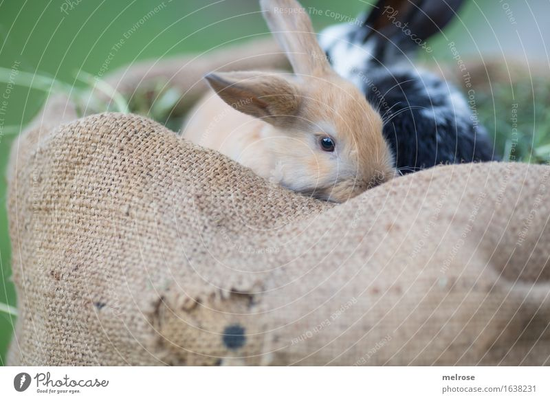 together in the HEUbed Easter Grass Hay Straw Meadow Animal Pet Animal face Pelt Hare ears Snout Pygmy rabbit mammals Rodent 2 Pair of animals Baby animal
