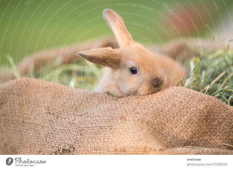Green Relaxation Animal Baby animal Meadow Grass Small Brown Contentment Lie To enjoy Cute Soft Curiosity Easter Pelt