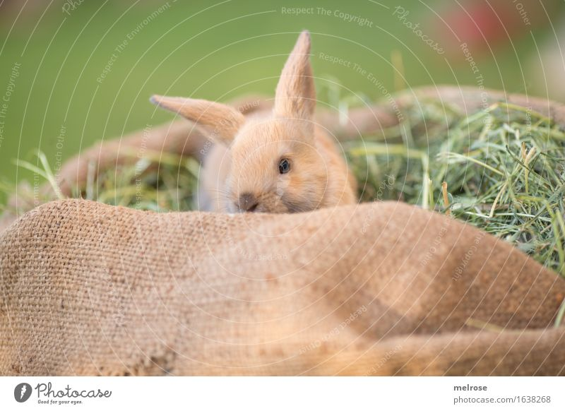peekaboo Straw Hay Garden Animal Pet Animal face Pelt Snout hare spoon Pygmy rabbit Rodent Mammal 1 Baby animal Jute sack straw mattress embedded Relaxation