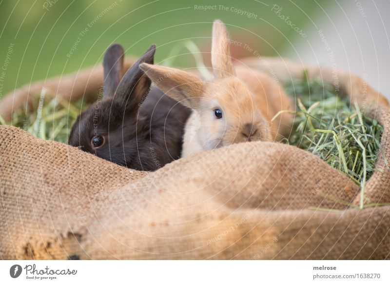 cuddling time ... Easter Grass Hay Straw Meadow Animal Pet Animal face Pelt Hare ears Pygmy rabbit Mammal hare spoon Brothers and sisters 2 Pair of animals