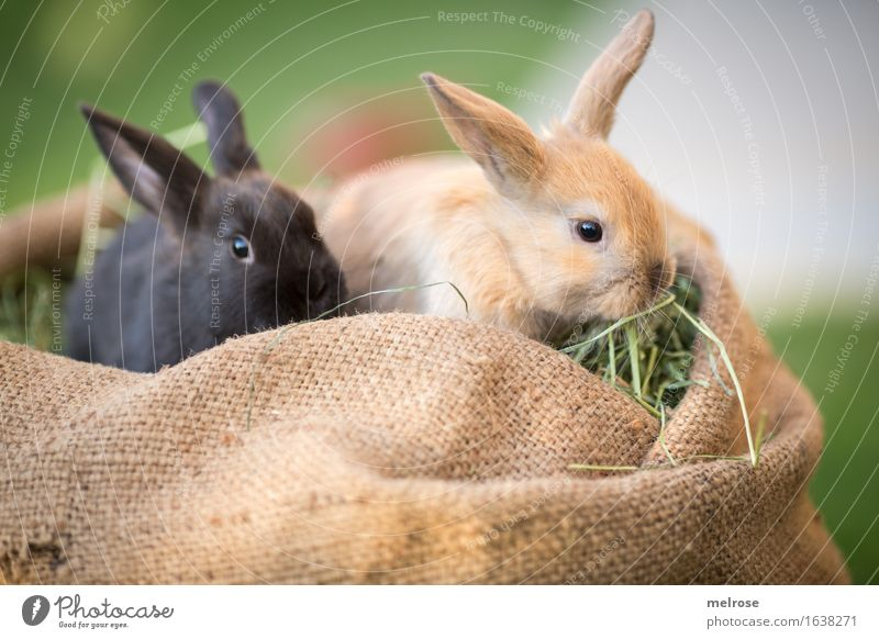grasp food ... Easter Grass Hay Garden Animal Pet Animal face Pelt Pygmy rabbit Hare ears Snout mammals Rodent 2 Pair of animals Baby animal Jute sack
