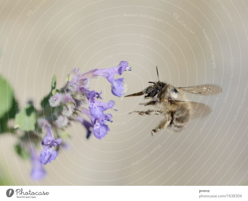 Bee 2016 Environment Nature Plant Animal Spring Summer Beautiful weather Flower Blossom Garden Park Meadow Wild animal Flying Blue Green Floating Insect