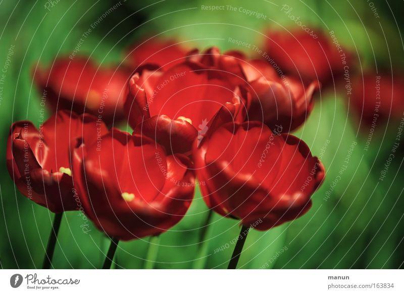 Nature Beautiful Flower Plant Red Spring Park Feasts & Celebrations Birthday Elegant Decoration Tulip Harmonious Senses Horticulture