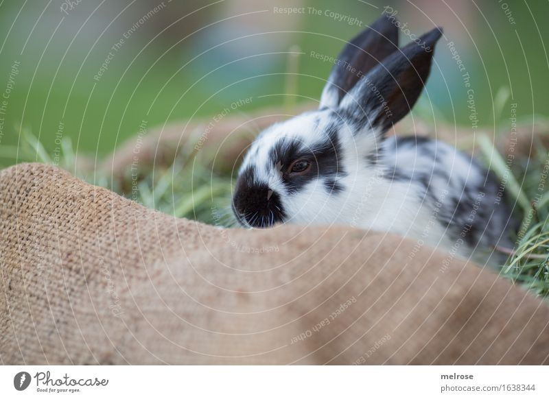 Sleep well! Easter Grass Garden Meadow Animal Pet Animal face Pelt Snout Hare ears Pygmy rabbit Mammal Rodent Straw Hay jute bag Observe Relaxation To enjoy