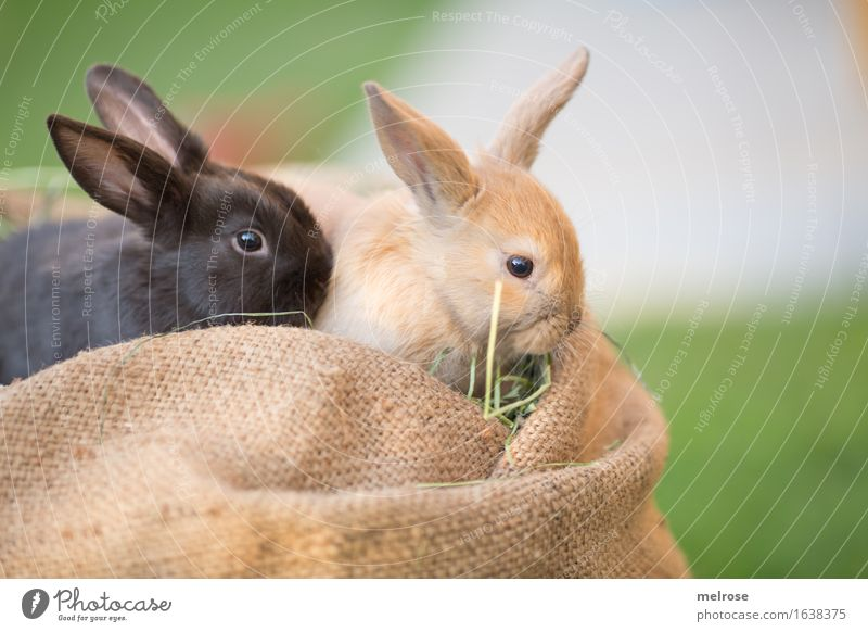 I and my buddy ... Easter Garden Meadow Animal Pet Animal face Pelt Pygmy rabbit Rodent Mammal hare spoon Brothers and sisters 2 Baby animal Jute sack Hay Straw