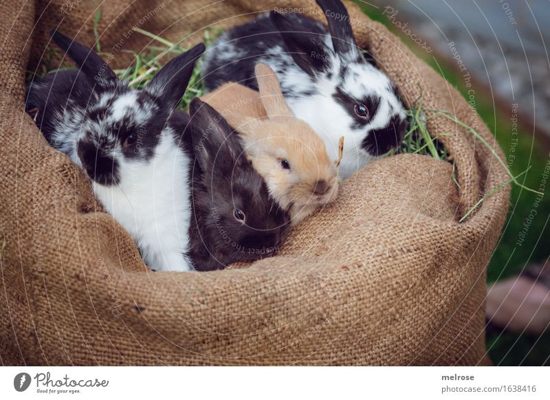 FOUR vagabonds Pet Animal face Pelt hare spoon Pygmy rabbit Rodent Mammal 4 Group of animals Baby animal Animal family Quartet Brothers and sisters Relaxation