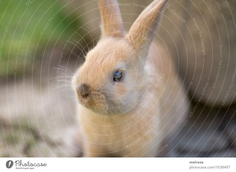 Wakey little guy Easter Garden Meadow Animal Pet Animal face Pelt Pygmy rabbit Snout Mammal Rodent Hare ears 1 Baby animal bright eyes Relaxation To enjoy Sit