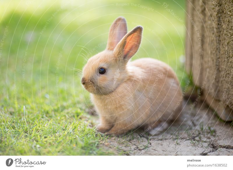 pretty ... Easter Grass Garden Animal Pet Animal face Pelt Paw cottontails Hare ears Snout Rodent Mammal 1 Baby animal stone slab Sweet guy Relaxation Sit