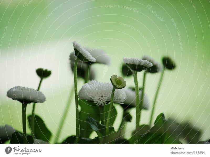 White Flower Green Plant Blossom Fresh Growth Multiple Upward Daisy Attachment Meadow flower Mop of curls