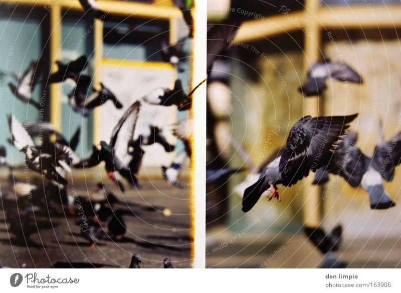 Nature Animal Bird Flying Free Infinity Many Pigeon Pet Feeding Flock Farm animal Parasite