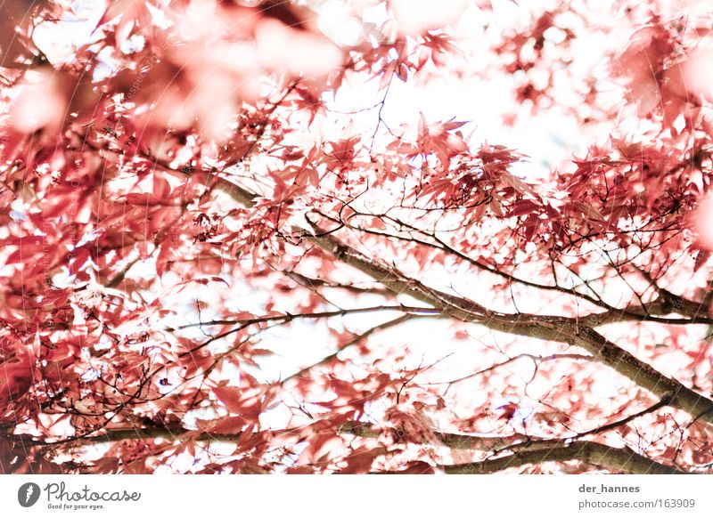 Nature Tree Plant Red Calm Autumn Spring Environment Cool (slang) Anger Blossoming Aggression Sustainability Maple tree Back-light Grouchy