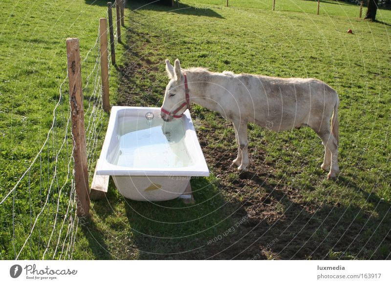 A bathtub full of thirst Colour photo Exterior shot Day Sunlight Animal portrait Downward Nature Summer Meadow Field Swimming pool Pet Farm animal Horse 1
