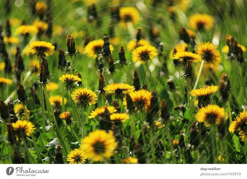 Nature Flower Green Plant Yellow Meadow Blossom Grass Spring Landscape Dandelion Fragrance Beautiful weather Foliage plant Spring fever Wild plant