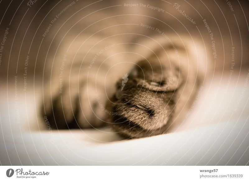 mouser Animal Pet Cat Claw Paw 1 Brown Gray White Domestic cat Detail Close-up Colour photo Subdued colour Interior shot Deserted Copy Space right